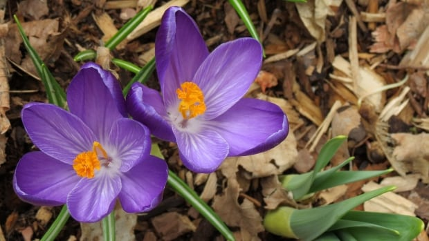 Crocuses are usually a sure sign of spring weather's arrival, but this year, they may be a bit earlier.