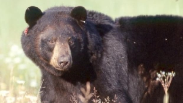 Animal rights groups say the planned spring bear hunt in Ontario would violate animal cruelty laws and the Environmental Assessment Act.