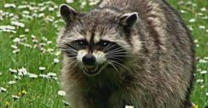 Angry raccoon - Toronto