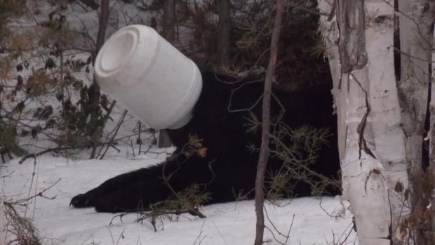 A bear got his head stuck in a jar near Sudbury, Ont., on Easter Sunday. Police were called to deal with the situation, but had to call in help from the Ministry of Natural Resources, so that the bear could be tranquilized, have the jar removed and be relocated.
