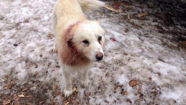 Cushion, a 50-pound husky mix, is shown in this picture taken two weeks ago, after he was attacked by another dog in Sandy Lake First Nation. He was brought to Thunder Bay for care, but has since escaped.