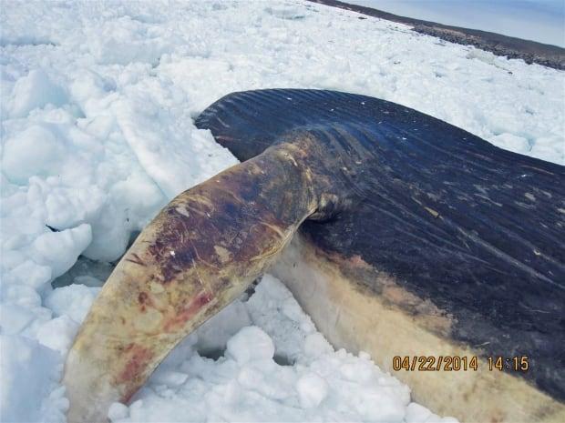 blue whale carcass Bonne Bay DFO