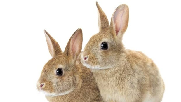 Police say the two rabbits were meant to be given to two young children as Easter gifts but were stolen from a barn near Ingersoll, Ont., by two girls, age 9 and 11, who then tried to sell them.