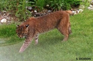 Bobcat in Squamish