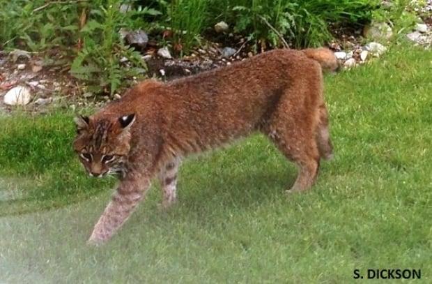 Bobcat in Squamish