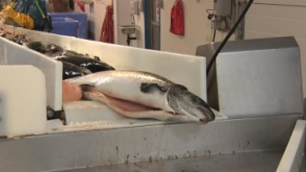 Cooke Aquaculture says it will begin processing salmon grown at its farms on Newfoundland's south coast by early June.
