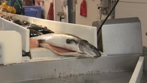 Salmon being processed