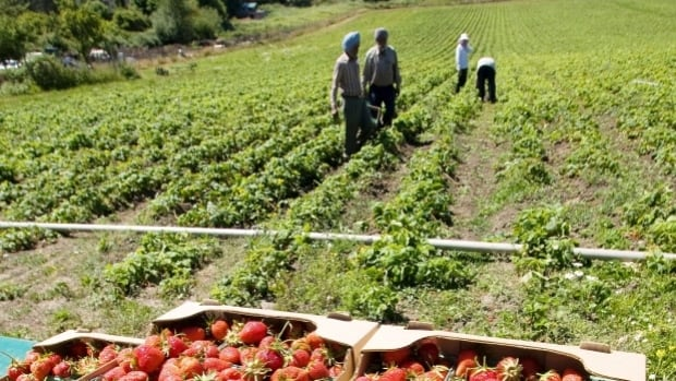 Canada's agricultural sector brings in thousands of workers at harvest times. But changes to rules around temporary foreign workers may make it more difficult for so-called 'low-skilled' workers to become citizens, immigration lawyer Reis Pagtakhan says.