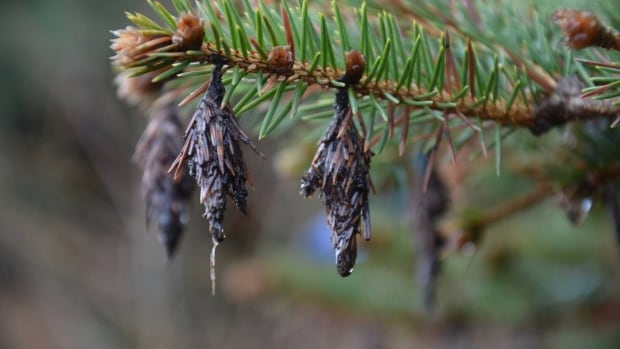 Trees in Windsor could soon be under attack. The bagworm has made a return.