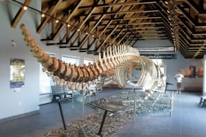 Humpback whale skeleton in King's Point