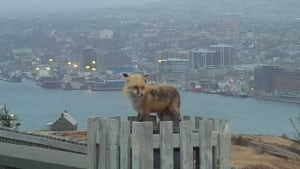 Signal Hill fox by Tonia Pilgrim