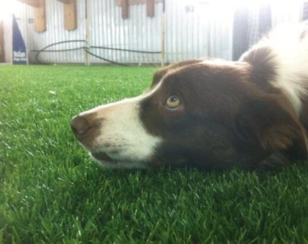 Dog Fake Artificial Lawn
