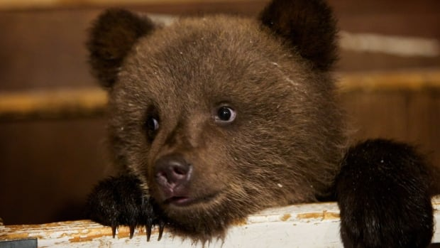 A bear cub, similar to the one seen here, will not be killed because of rabies after biting and scratching at least 18 students at a Missouri college.