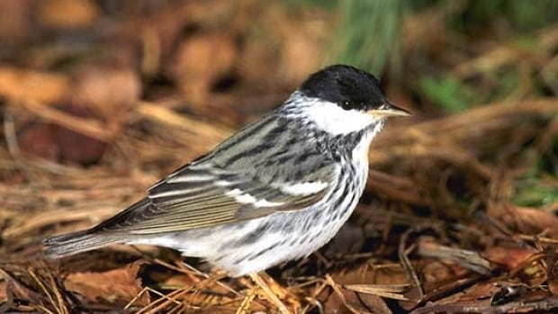 The Blackpoll warbler is one of many songbirds common in the South who travel north to breed in summertime.  The Boreal Songbird Initiative and Ducks Unlimited are hoping more people will make the connection between city songbirds and the need for conservation in their vast, northern breeding grounds.