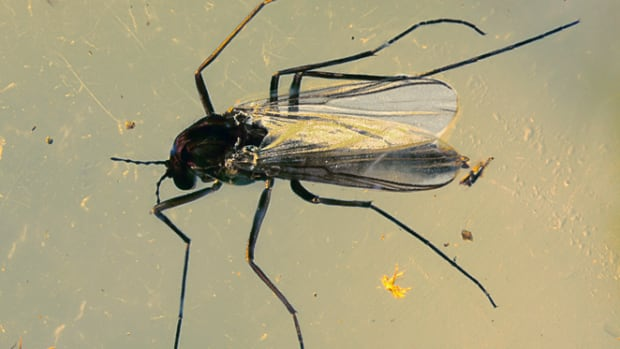 Hundreds of species of non-biting midges thrive in Canada alone, with an estimated 10,000 species worldwide. They emerge from their larval layers in lake sediments multiple times a year to find a mate.