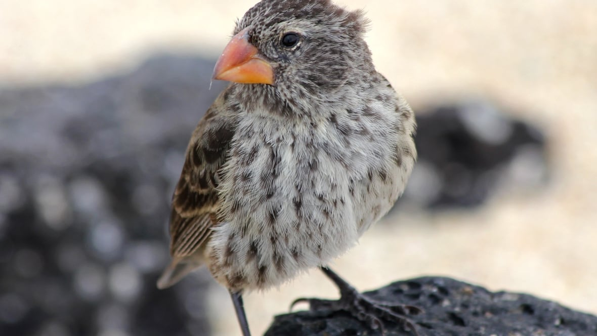 Galapagos Finches Combat Killer Maggots With Scientists