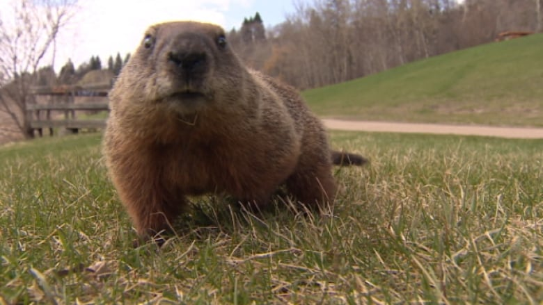 Officials looking for rogue groundhogs in Charlottetown