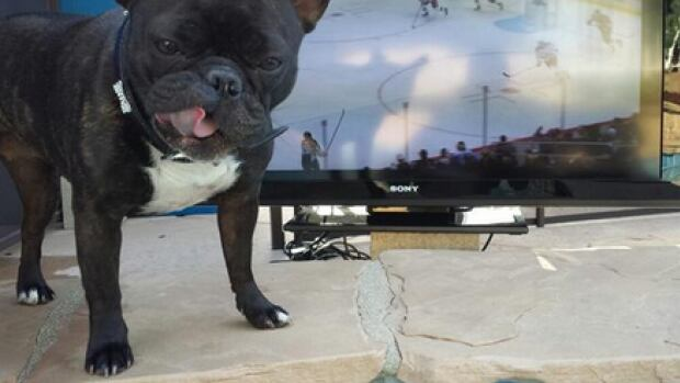 Matthew Bell said his French Bulldog is an Anaheim Ducks fan.