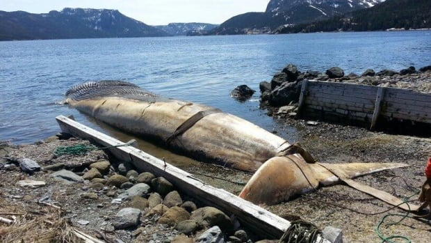 A rotting blue whale carcass, which was beached in Trout River for several weeks, was towed on Thursday morning to the nearby community of Winterhouse Brook.