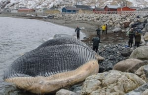 Royal Ontario researchers assess blue whale carcass