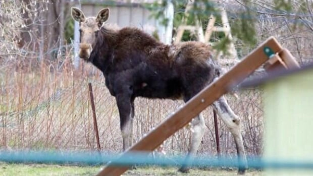 John Lappa's picture on Twitter of a moose roaming in the Minnow Lake area Thursday morning.
