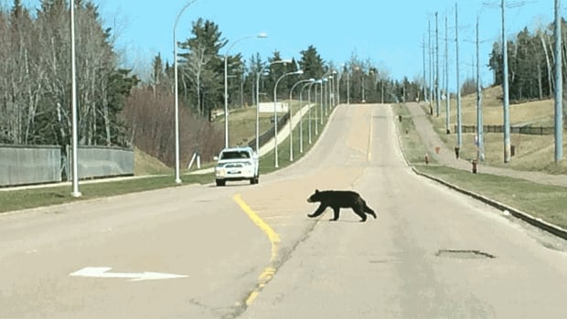The young black bear was spotted near Aucoin Street and Dieppe Boulevard on Wednesday and was last seen heading toward the Fox Creek Golf Club.