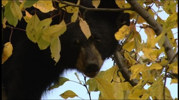 The spring bear hunt is being welcomed by many hunters, who say something needs to be done to cut down on the number of human and bear interactions in the north. Many have hit the internet to educate themselves about what they're allowed to hunt.
