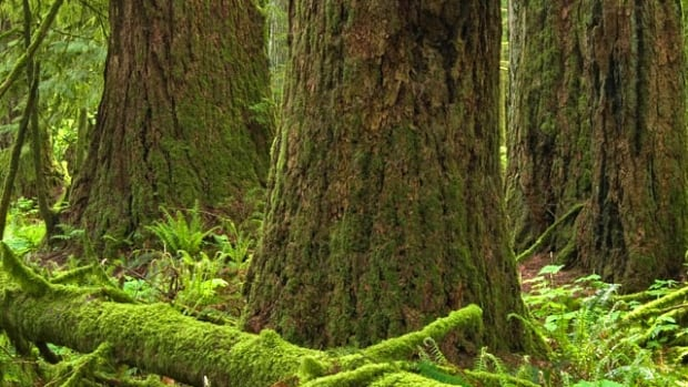 The B.C. Supreme Court says environmental groups should be taking up their case to preserve Douglas firs with the Forest Practices Board before launching judicial reviews.