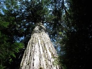 Douglas fir story