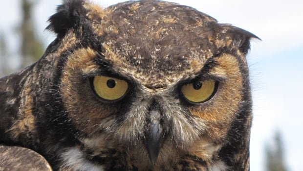 This great horned owl was released back into the wild on the North West River highway on Friday.