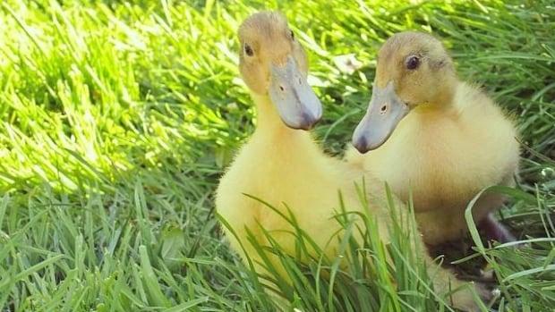 Welsh Harlequin ducks live alongside chickens in Kevin Romanin's backyard in Esquimalt, B.C.