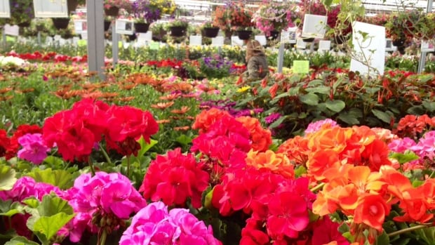 Plenty of plants and not many customers thanks to below average temperatures this Spring.