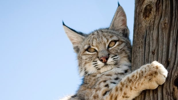 Inclusive DNA tests have allowed for a suspected runaway bobcat named Rocky to be returned to his owner.  This file photo shows a juvenile bobcat in California.