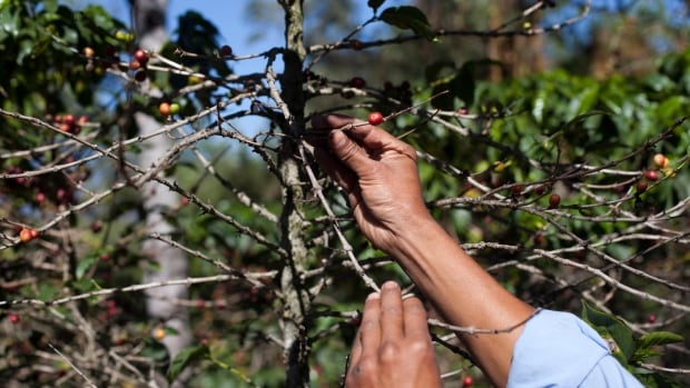 A fungus called coffee rust, especially deadly to arabica beans, has already caused more than $1 billion in damage across the Latin American region.