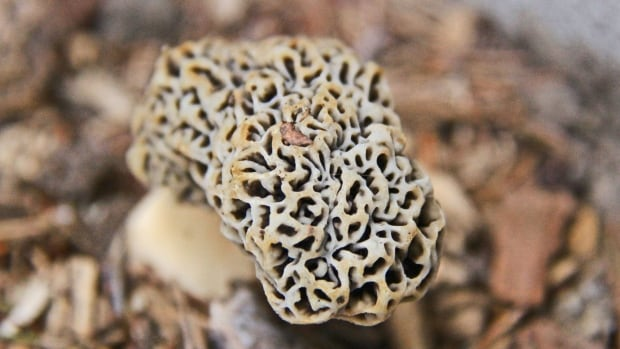 Morels only grow in the wild and look different than the traditional mushroom.