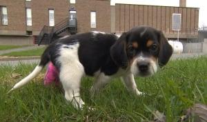 Bandit beagle puppy