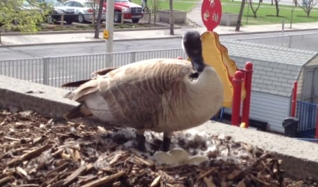 Wildlife advocate urges Calgarians to 'humanely' stop ...