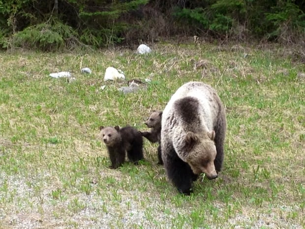 Grizzly cubs 2