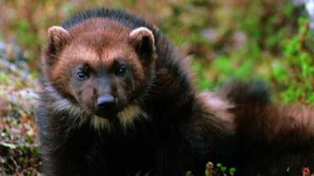 Wolverines roam across vast territories and face threats from habitat fragmentation. Critics say the new National Conservation Plan will do little to conserve the wilderness that this animal needs to survive.