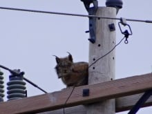 Lynx on a power pole attracts a crowd