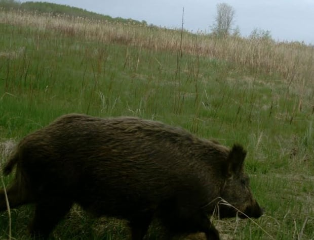 Wild boars in Saskatchewan skpic