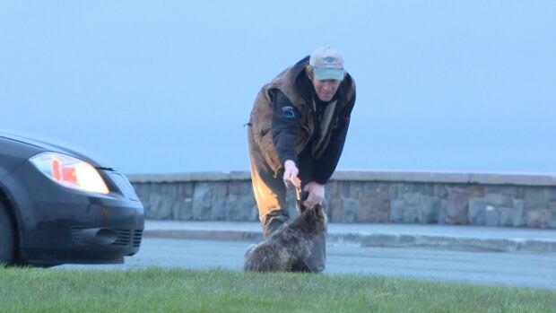 Man feeding fox on  Signal Hill