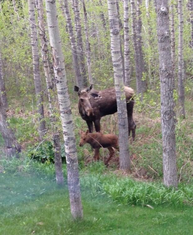Mom, calf moose