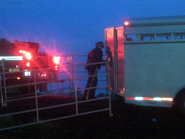RCMP help out after cattle wagon crashes