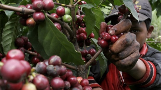 A new study of plantations in Ethiopia and Uganda found casual workers who pick the coffee may be paid less on Fair Trade-dominated farms than on larger plantations or areas without a Fair Trade designation.