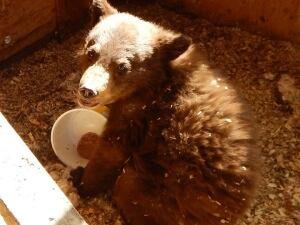 Bear cub Mayo, Yukon