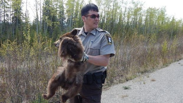 Yukon Conservation Officer Kevin Johnstone holds a black bear cub near Mayo. Officers returned the cub to its mother after it was picked up by a couple who mistakenly thought it was orphaned.