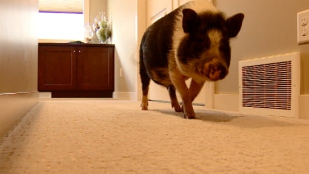 Eli the potbellied pig lives with Michelle Kropp and her family in Sherwood Park, Alta.