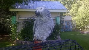 Ozzi Parrot