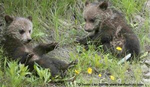 Kootenay cubs